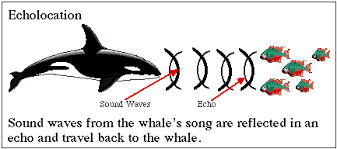 Echolocation: How whales communicate