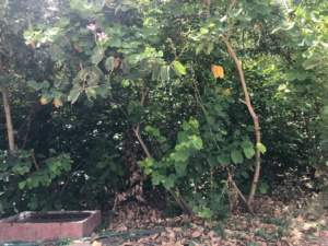 A 2.5 year old food forest in Indore